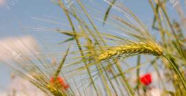 この天然ふすま酸化防止剤は、食品をより長く新鮮に保ちます