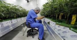 Tweets oor die gesondheidsvoordele van cannabis is vol wantroue